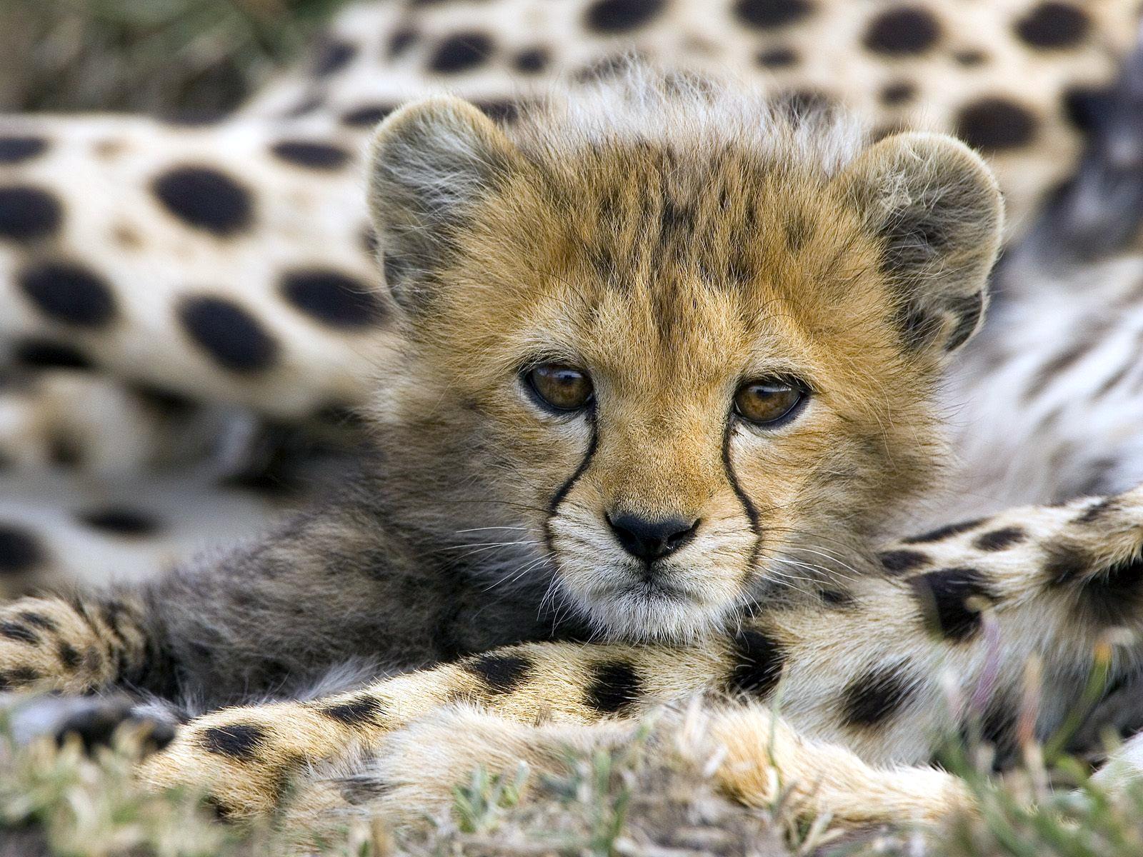 http://3.bp.blogspot.com/_fU7LdRkUMVM/TU2NjaKtXcI/AAAAAAAAD4w/L5YYvccuDYo/s1600/baby_cheetah-5260.jpg
