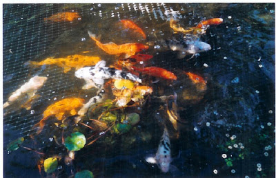 Feeding Goldfish and Koi In Fish Pond
