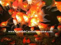 Raising Baby Goldfish Fry