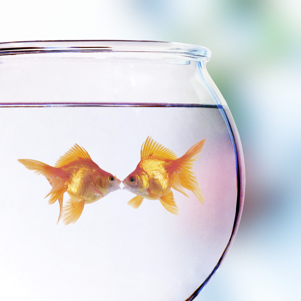 How Old Does A Goldfish Have To Be To Breed? Goldfish Care ...