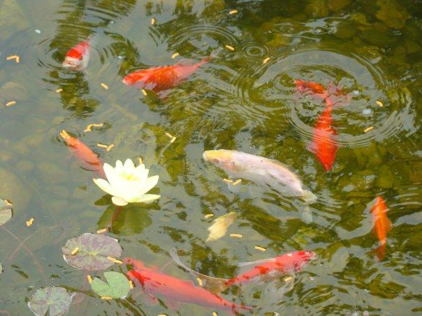 Goldfish eggs in pond for Koi spawning