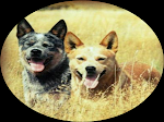 Canil Matilha HJ - Australian Cattle Dog