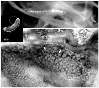 Fotografía de una cadena de cristales de magnetita, similar a un 'collar de perlas', dentro del meteorito ALH84001. Las flechas indican los extremos de la cadena