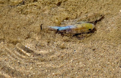 Salt Creek Pupfish