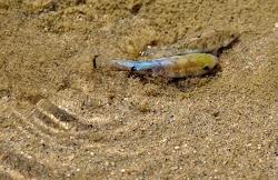 Salt Creek Pupfish