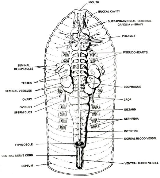 earthworm dissection diagram. Earthworm Dissection