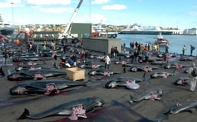 Pilot Whales Slaughtered