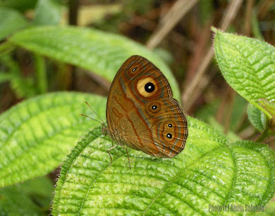 Glad-eye Bushbrown