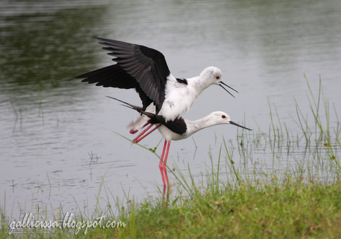 Black-winged Stilt mating sequence-5