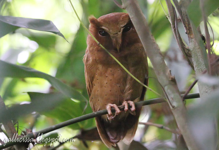 Serendib Scops Owl in a daytime roost