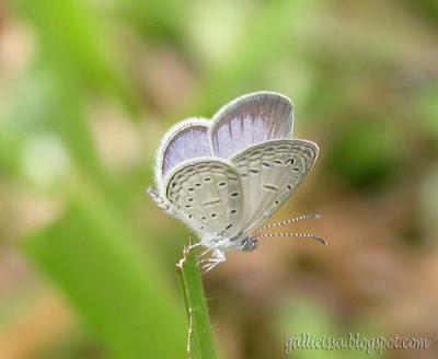 Tiny Grass Blue - male at my home garden