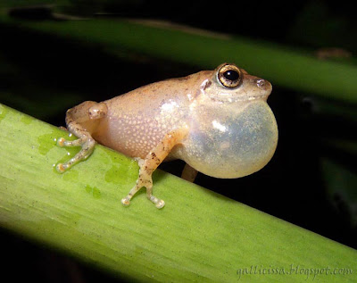 Common Shrub Frog