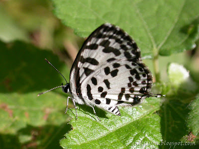 Common Pierrot in my home garden