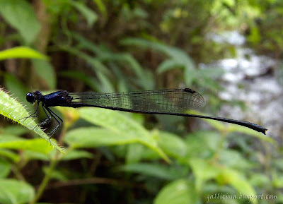 Dark-glittering Threadtail