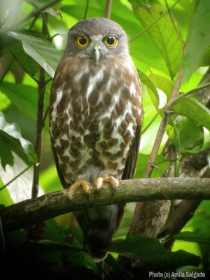 Brown Hawk Owl at my home garden - click on the image to see a PDF of an article that I did before I became a bird blogger