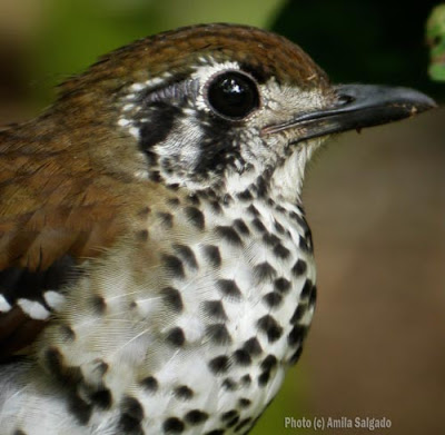 Spot-winged Thrush at Kithulgala - click on the image to see a PDF of an article that I did before I became a bird blogger