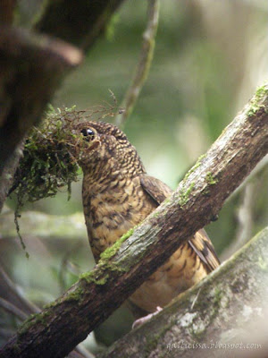 Sri Lanka Scaly Thrush with nesting material - Sinharaja 'World Heritage' rain forest - 9 July, 2008