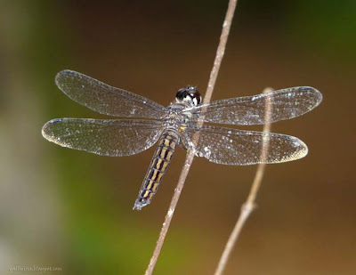 Lyriothemis.sp - female