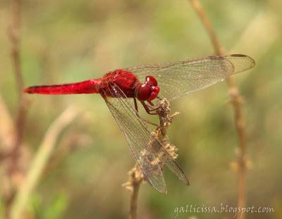 Oriental Scarlet male