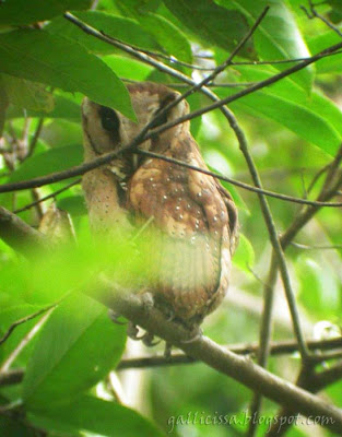 One of my first shots of the ultra secretive Sri Lanka Bay Owl - on 18 Jan, 2007