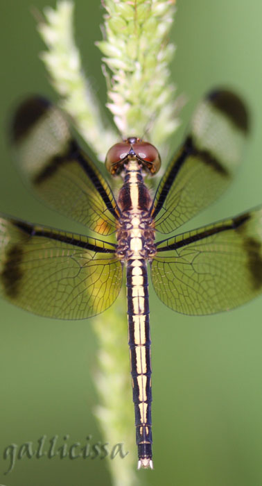 Pied Parasol - female