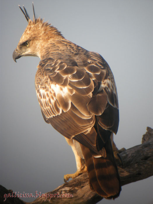 free downloading pics of crested hawk eagle wiki