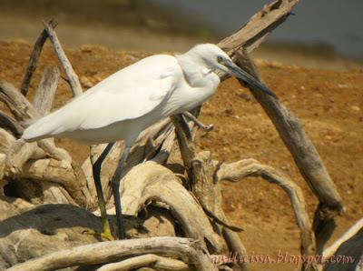 Western Reef Egret - white morph
