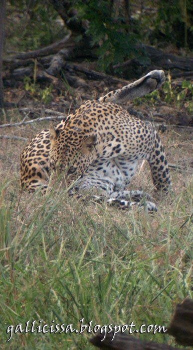 Leopard at Yala National Park