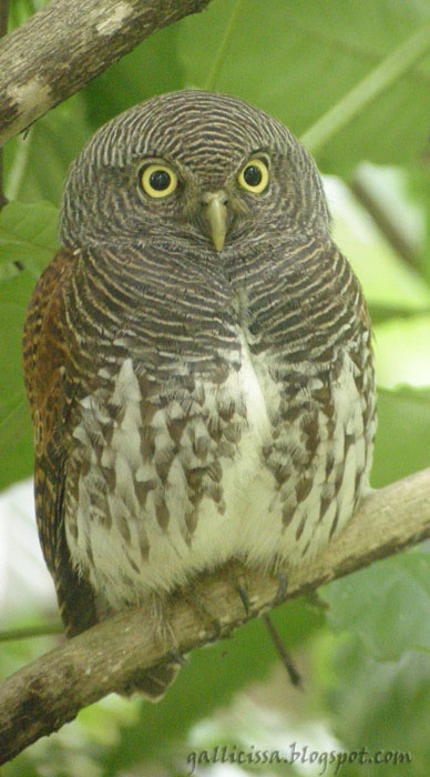 Chestnut-backed Owlet - library pic