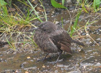 a forlorn Pied Bushchat female