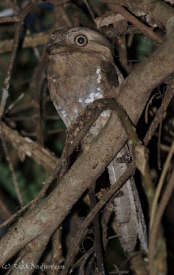 Sri Lanka Frogmouth male - photographed by Riza