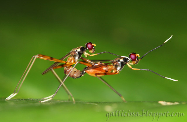 Stilt-legged Flies in flagrante delicto
