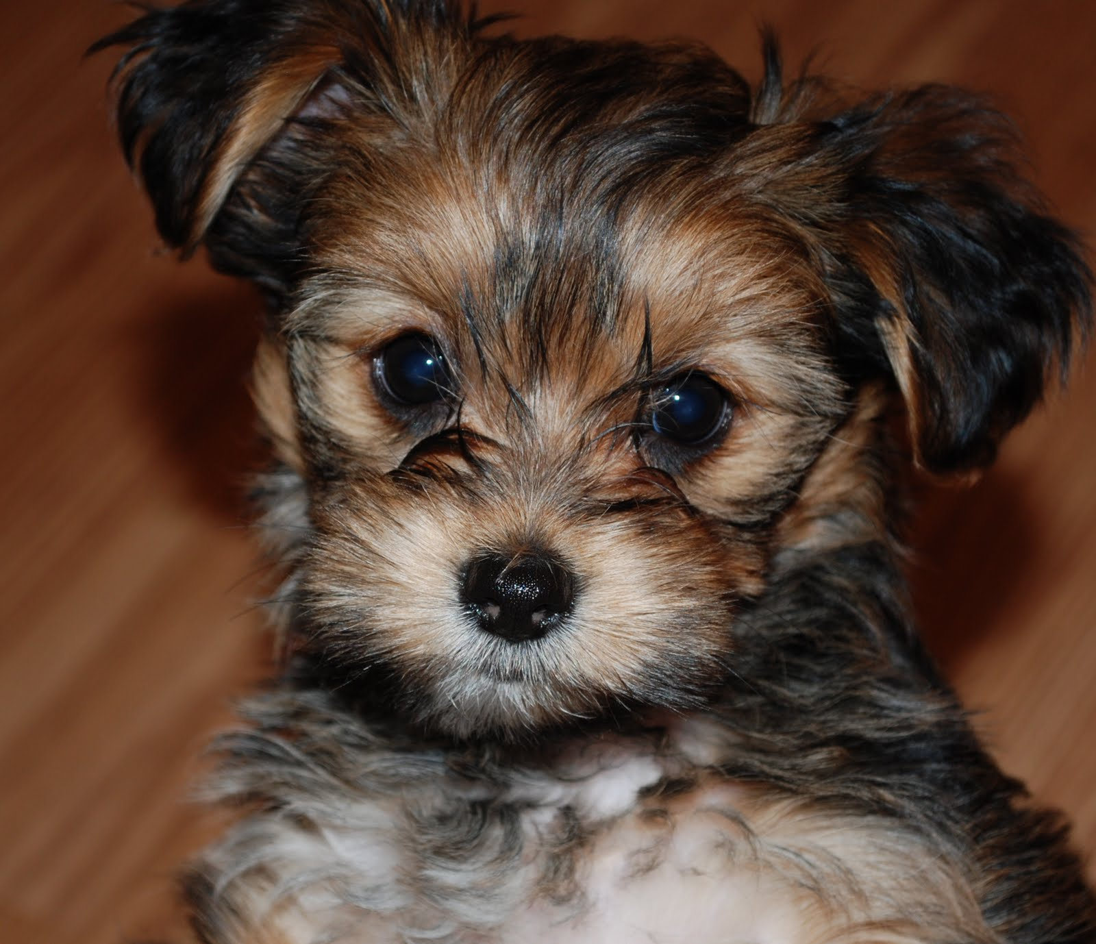 Pictures of Shorkie Haircuts http://shorkiepuppies.blogspot.com/2009/11/reagan-8-wk-shorkie-puppy.html