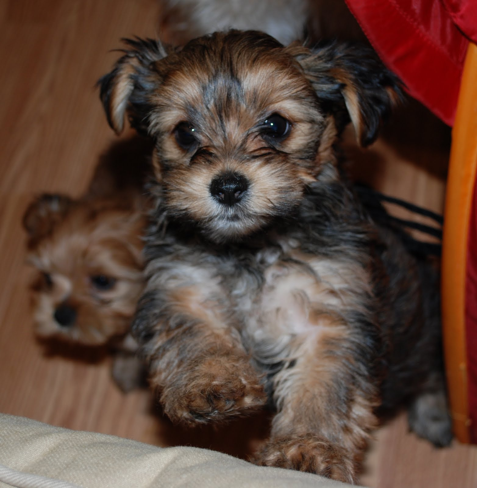 cute-fluffy-teacup-puppies