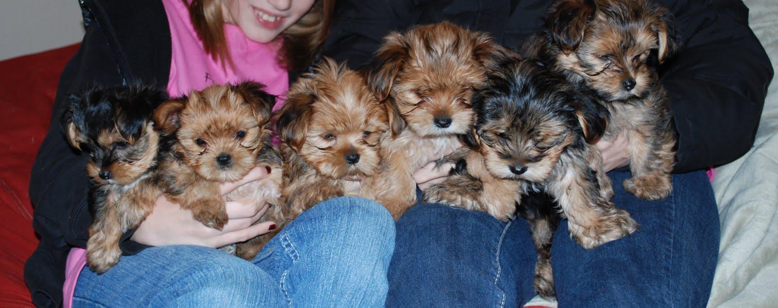 1 Week Old Shorkie Puppies wallpapers