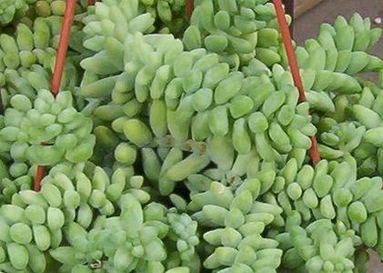 Sedum Burrito Sedum Burrito Plants