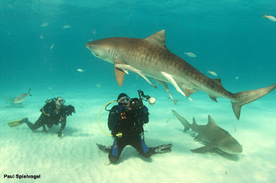 eldad with tiger shark