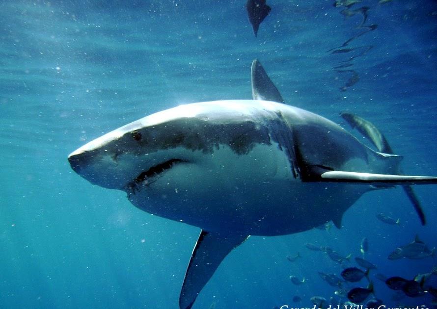 Tiburones: Muere un tiburón de tres metros en Australia, en extrañas ...