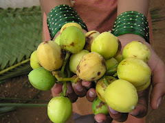 Ripe bunch of jatropha fruits