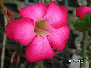 Adenium obesum (Desert Rose), bunga Yang Cantik, Beautiful Flower, Indonesian Flower