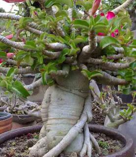 Adenium multiflorum (sabi star), bunga Yang Cantik, Beautiful Flower, Indonesian Flower