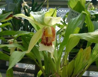 Orchid Coelogyne celebensis, Sang Diva, Si Kupu-Kupu Rawa, Vanda limbata, Vanda metusalae, Vanda insignis, Vanda celebica, Anggrek cantik, langka, Tanaman Indah