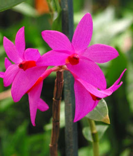 Red, Dendrobium Sulawesiense, Orchid Flower, Beautiful Plant