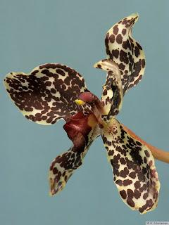 Grammatophyllum speciosum Orchid, Anggrek kategori, Cantik, Bunga Unik, Si Belang