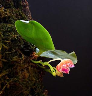 Phalaenopsis javanica Orchid, Anggrek Cantik, Tanaman Langka, Bunga Indah