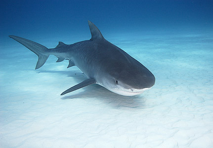 http://3.bp.blogspot.com/_flOuVwvNTVc/TO9cEoMMRyI/AAAAAAAAAAk/jdxEDhFB93s/s1600/tiger-shark.jpg