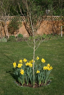 Daffodil underplanting