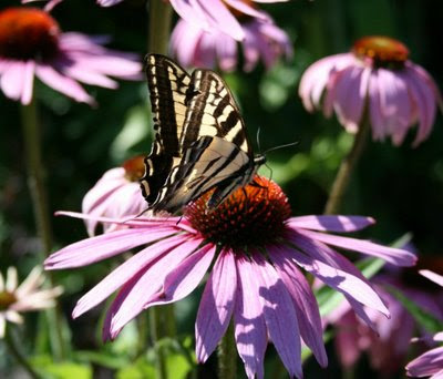 Swallowtail on Purple Coneflower
