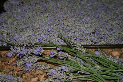 Lavender drying