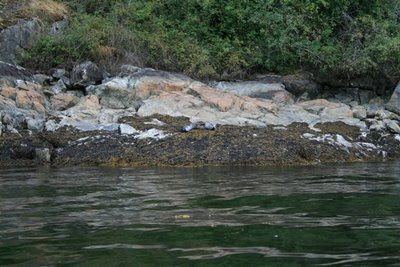 Harbour seal with pup in Indian Arm